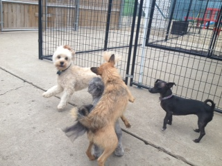 That's Henry (my darling cavapoo) on the left playing in the dog park!